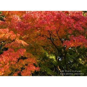 モミジ ♪紅葉♪千葉市より♪アトリエコンチェルト♪