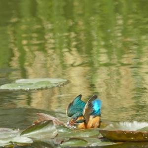 カワセミ、ダイビング連写画像