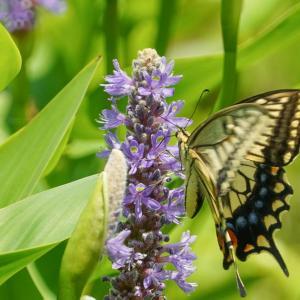 丸長葉水葵の花とアゲハチョウ