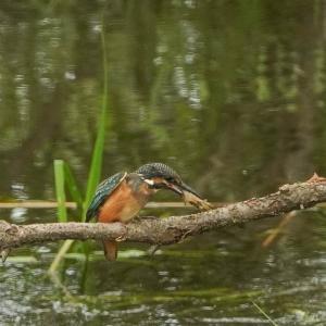 カワセミ、幼鳥・川エビを食す!