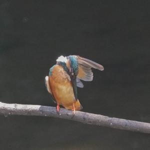 カワセミの羽繕い風景