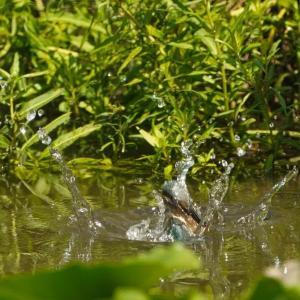 カワセミ、ダイビング6連写画像