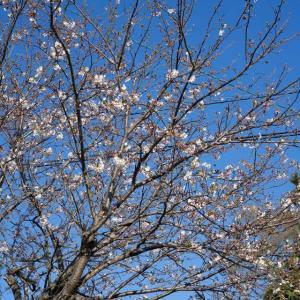 一本だけですが、桜あります。