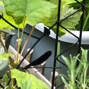 お庭に…ハグロトンボ