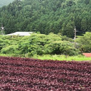 季節の仕事 大原の赤紫蘇ジュース