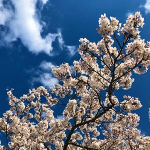 桜、満開^ ^