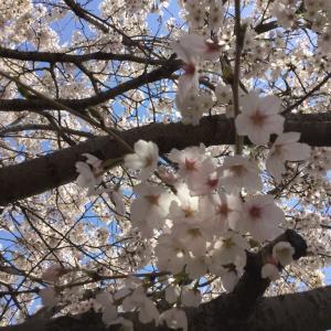 庭の桜でお花見