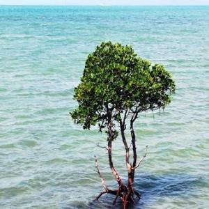 石垣島名蔵湾の海に生えるマングローブ