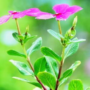 沖縄でよく見かける花 ニチニチソウ
