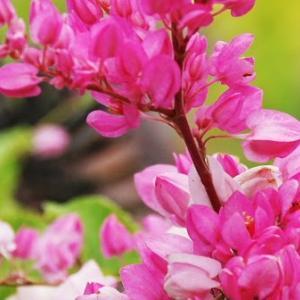 竹富島でよく見かける花 アサヒカズラ