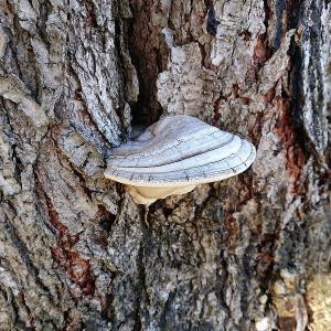 ( ̄‥ ̄) カネゴンみたいなキノコが木の幹に生えていましたよ。