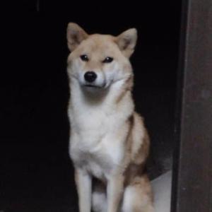 迷子の迷子の柴犬さん~