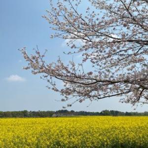 【宮崎をさるく】満開の桜と菜の花を見るなら「西都原古墳群」(西都市)