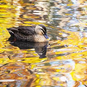 黄葉の映る池