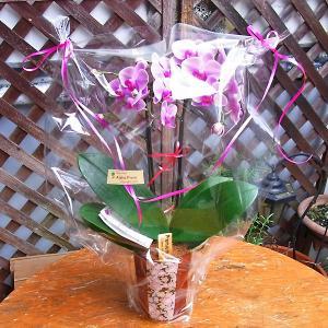 『 Premium Sheena Orchids』