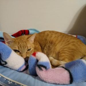 【 大阪府 里親募集中の子たち 】猫たちは寝るのも仕事のうちです