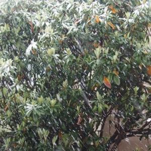 桜と雪の競演