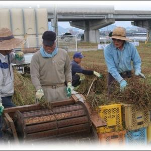 蕎麦の収穫作業 脱穀・乾燥