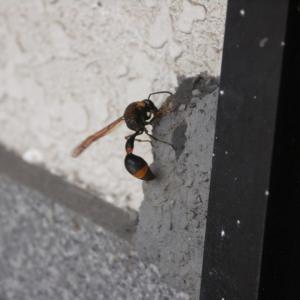 初めて見る蜂