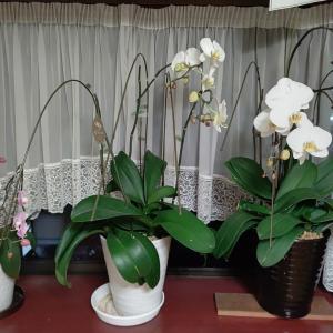 お供えに頂いた胡蝶蘭が復活(*^-^*)、夜の振袖練習