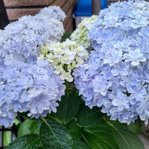 紫陽花って、次の年に綺麗に咲かせるのって難しいですね(^-^;