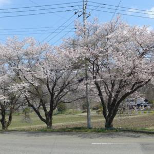 三本桜満開