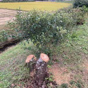 八重桜の木の伐採