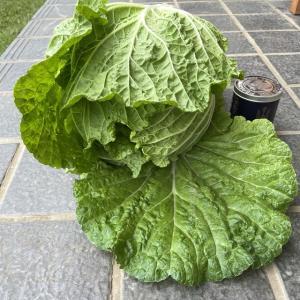 白菜の初収穫
