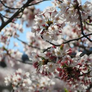 桜 2020年4月