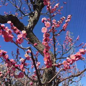 今日見た美しいもの  梅の花