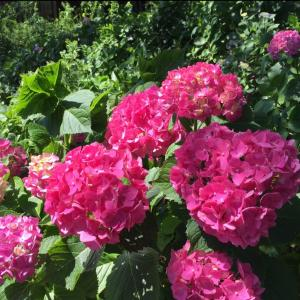 6月の花  紫陽花