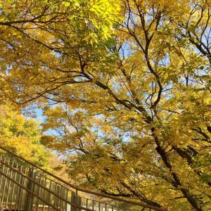 紅葉を満喫  黄金色の世界