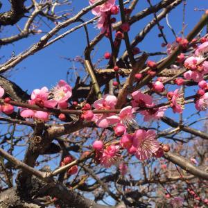 2月のお楽しみ 梅の花 イチゴ