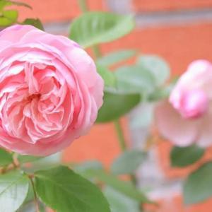 薔薇が咲いたぁ☆
