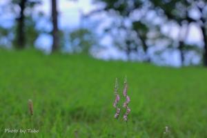 野の花 ネジバナ