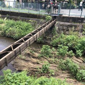 霞川を遡上する