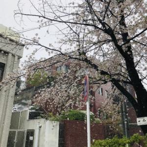 桜と雪と志村さん