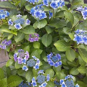 庭の紫陽花がやっと色づきました