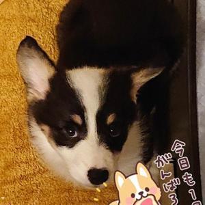 コーギーらしく!?