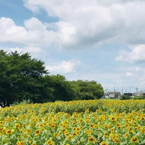 ひまわり畑*2020