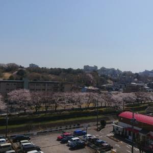 桜が満開。(土)