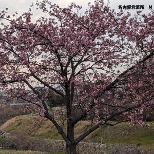 <名古屋所属のMドライバーさん>梅の花が綺麗に!