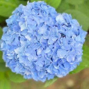 <福岡所属のNドライバーさん>紫陽花。
