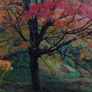 染め分ける紅葉