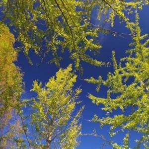 秋晴れ銀杏
