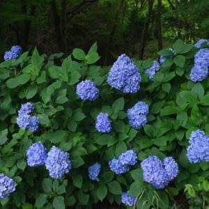 紫陽花の季節 その五