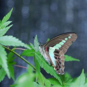 庭の訪問者(蝶)