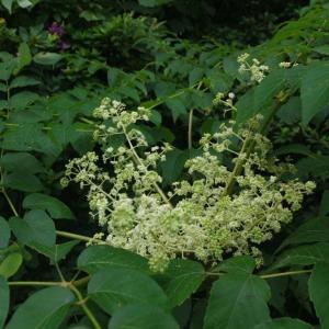 タラノ木の花