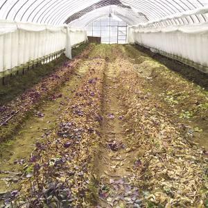 葉牡丹ハウスの片づけ