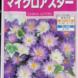 アスターの種蒔き